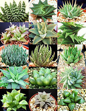 HAWORTHIA MIX rare living sotnes plant exotic cactus flower succulents 50 seeds