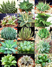 HAWORTHIA MIX rare living sotnes plant exotic cactus flower succulents 100 seeds