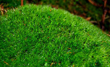 Live pillow moss for terrarium, vivarium, miniature garden or fairygarden