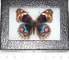 REAL FRAMED BUTTERFLY JUNONIA ORITHYA BUCKEYE FEMALE JAPAN SUPER FORM!