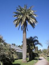 Chilean Wine Palm - Jubaea chilensis - 20 Seeds