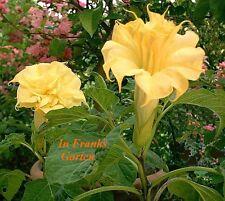 Engelstrompete @ gelbe Blüten @ Datura metel Triple Yellow @Stechapfel@ 10 Samen