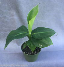 MUSA POQUITO,  DWARF BANANA, LIVE PLANT SHIPPED IN FOUR INCH POT!