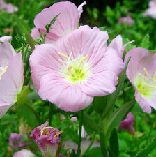 Fragrant Evening Primrose Seeds 30 Seeds Oenothera Biennis Odorata Flowers A222