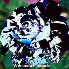 20 x NEW RARE EXOTIC LEGENDARY BLUE WALDORF ROSE SEEDS(LIMITED STOCK)FREE POST