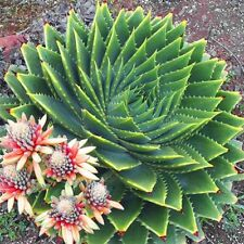 5 Graines Aloe polyphylla ,African Spiral Aloe Fresh seeds