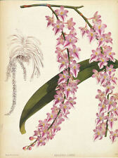 ORCHID Aerides Lobbii by J.N. Fitch Pl 21 print
