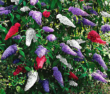 BUTTERFLY BUSH MIX Buddleia Davidii - 100 Bulk Seeds