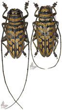 Sternotomis bohemani ferreti-Pair,UNMOUNTED beetle