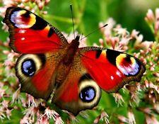 Ansichtskarte:  Pfauenauge: Schmetterling