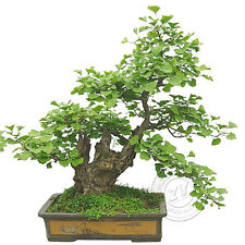 New 2Pcs Ginkgo Biloba Seeds Bonsai Potted Plant Landscape Garden Gift