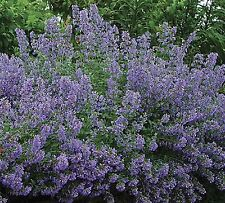 CATMINT HERB - FLOWER SEEDS