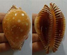 """Cypraea guttata f. bicallosa,""""VERY LARGE"""", 60mm, F+++/gem, exceptional"""