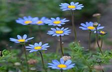 Blue Daisy 200 Seeds Beautiful Small Blue With Yellow Centered Colored Flowers