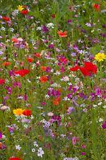 Wildblumen-Mischung 200g Samen für Wildblumenwiese Wildblumensamen, Blumenwiese
