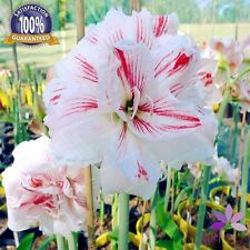 4 Bulbs -  Amaryllis Bulbs,True Hippeastrum Bulbs Flowers (Not Seeds)