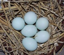 6 CRESTED CREAM LEGBAR HATCHING EGGS(believed fertile)(Blue eggs)