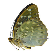 Unmounted Butterfly/Nymphalidae - Lexias pardalis borneensis, FEMALE, A-