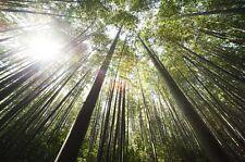 20 Semi di Bambù Gigante,Phyllostachys edulis pubescens Moso,