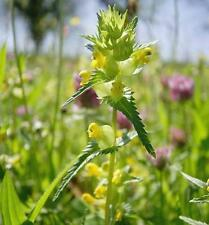 Wildflower Seeds - Yellow Rattle - 1200 Seeds
