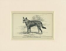 AUSTRALIAN DINGO RARE ANTIQUE 1900 ENGRAVING NAMED DOG PRINT READY MOUNTED