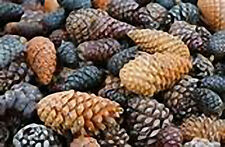 4 oz Candle Scent Oil-ROASTED PINE CONE