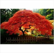 Acer Ginnala Flame (Flame Amur Maple) 5 Seeds