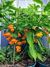 Jamaican Yellow Scotch Bonnet Pepper Chilli / Chili Seeds Healthy Rare 10 Seeds