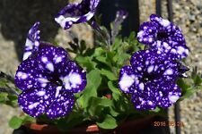 PETUNIA 'NIGHT SKY' 15 QUALITY fresh Seeds - First seeds on the market !!