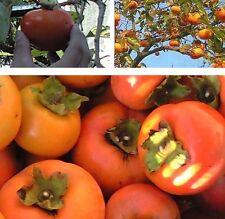 Kakipflaume Diospyros virginiana winterharter Exot Obstbaum für draußen Garten
