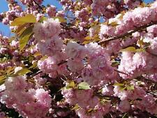 Japanese Flowering Cherry tree KANZAN- approx. 170 cm tall seedling-in the pot