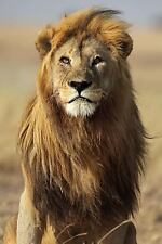 Lion in Tanzania Journal : 150 Page Lined Notebook/diary by Cool Image (2016,...