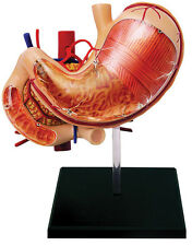STOMACH & Other ORGANS 4D ANATOMY MODEL/PUZZLE,  Kit #26065  TEDCO SCIENCE TOYS