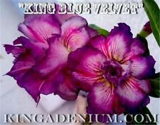 """ADENIUM OBESUM DESERT ROSES DOUBLE FLOWER """" KING BLUE VELVET """" 20 SEEDS,NEW,RARE"""