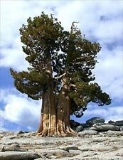 ANCIENT BRISTLECONE PINE TREE GROWING KIT - GROW CHRISTMAS PINES FROM SEED
