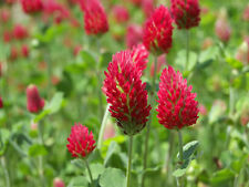 Crimson Clover Seeds - Trifoliate Leaves - Pink to Red Flowers -Bulk-400+ Seeds