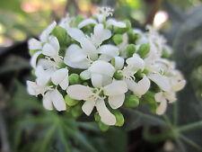 """1 POT 16""""-24"""" TALL Chaya Miracle Spinach tree  edible medicinal plant Plant"""