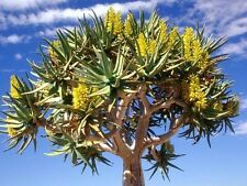Aloe Dichotoma, exotic quiver tree big succulent rare desert plant seed 10 SEEDS