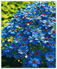 Brachycome braquiesófago Azul seeds-ricamente coloreado, variedad galardonado