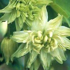 25+ Aquilegia Lime Sorbet Flower Seeds / Columbine / Perennial