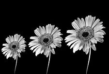 Framed Print - Black and White Gerbera Daisies Flowers (Picture Orchid Daisy Art