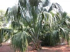 20 x Palm tree seeds;Sabal domingensis palm, Palm zaad