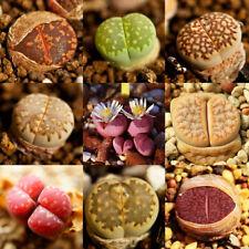 100 X Rare Mixed Lithops Seeds Living Stones Succulent Cactus Organic Bulk Seeds