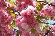 Nelkenkirsche Zierkirsche Prunus serrulata 'Kanzan'  60 - 100  cm im Container