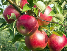 Live Apple Fruit Plant 3 Feet Height 2 Plants
