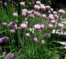 """100+ HEIRLOOM PERENNIAL HERB GOUNDCOVER SEEDS - CHIVES - """"LAVENDER"""" REPELS BUGS"""