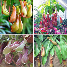 20Pcs Seeds Pitcher Plant Purpurea Nepenthe Carnivorous Shades Flower Fly Trap