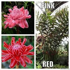 Rouge & rose torche ginger lily collection-Etlingera elatior - 20 graines tropical