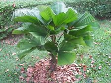 20 Seeds-Licuala grandis-Vanuatu Fan Palm Seeds