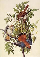 Audubon Reproductions: Watercolor Study - American Kestrel -  Fine Art Print